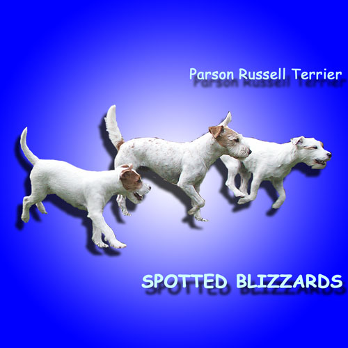 Parson Russell Terrier SPOTTED BLIZZARDS